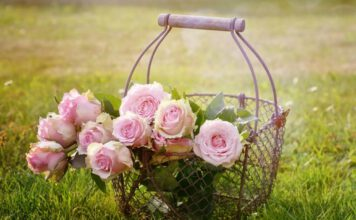 Pielęgnacja róż